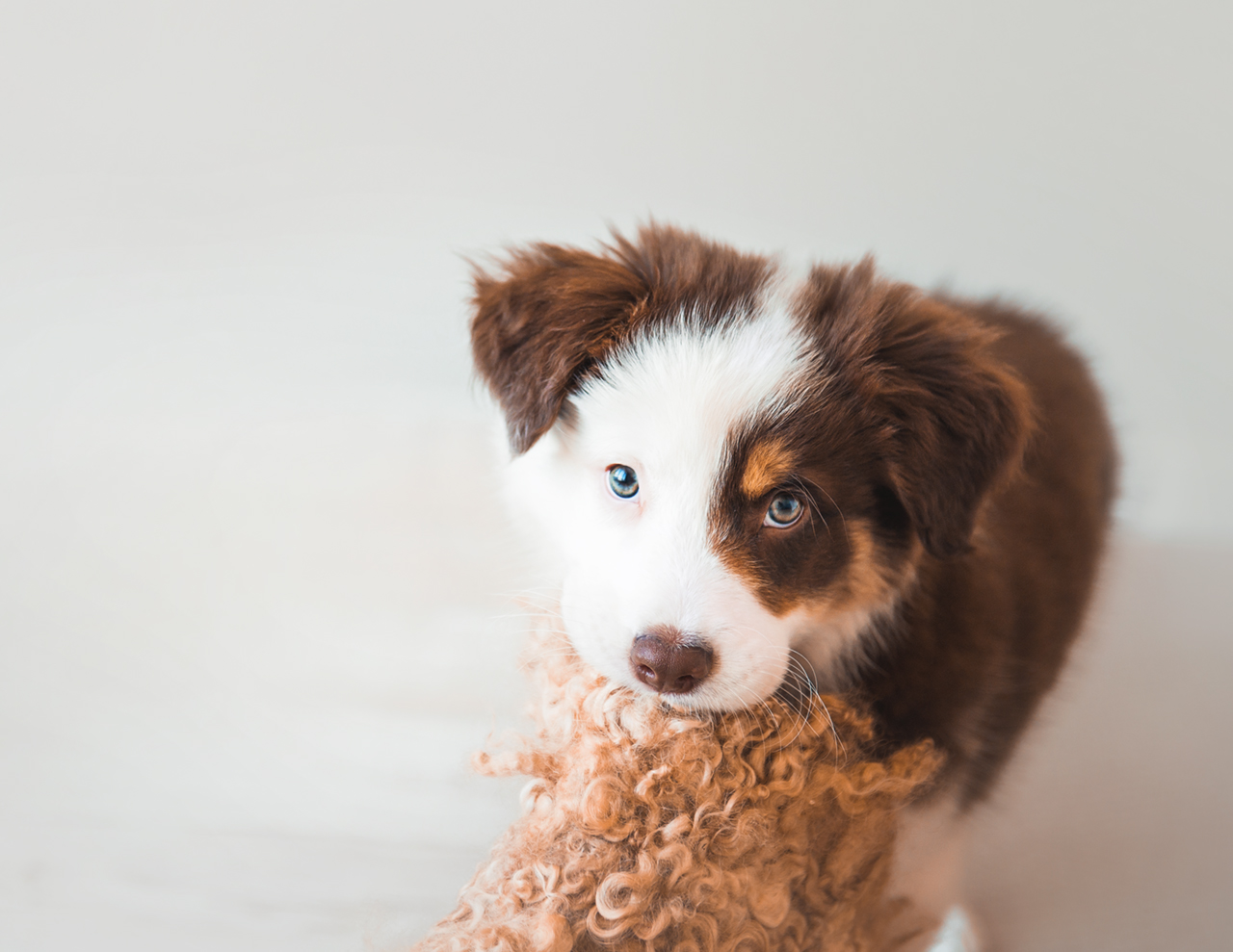 Border Collie, Puppy photography, Brisbane pet photography, Dog photography Brisbane, Puppy newborn session, Puppy newborn photography, Sonja Griffioen - Newborn & Puppy Photography